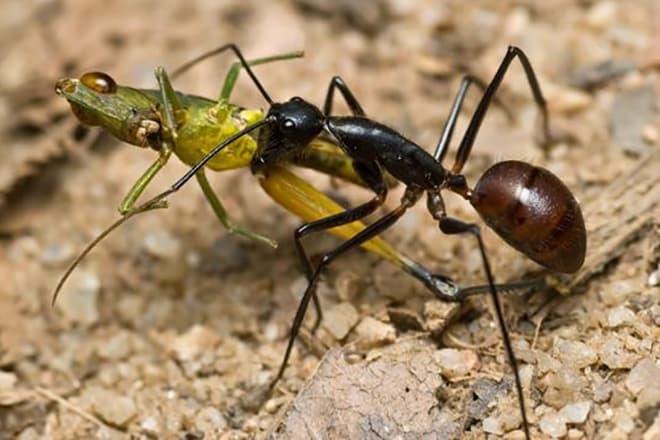 Пустынные муравьи оказались в числе самых быстрых животных мира