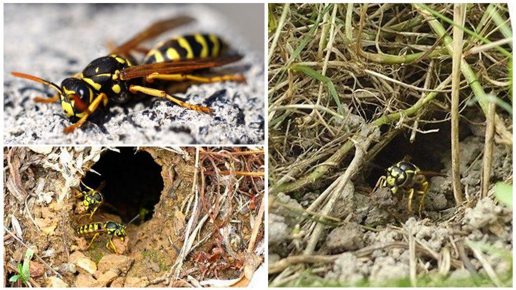 ✅ о гнезде шершней: как выглядит улей, как найти, когда покидают свои гнезда - tehnomir32.ru