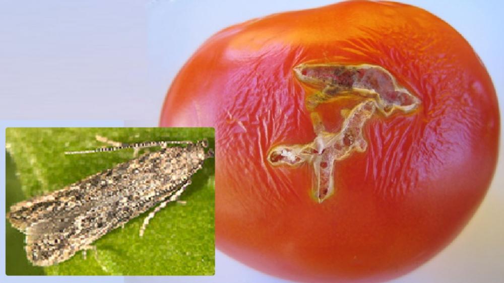 Вредители томатов (в т.ч. томатная минирующая моль) | сайт о саде, даче и комнатных растениях.