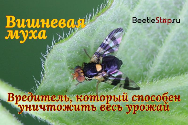 Вишневая муха: сроки обработки и методы борьбы