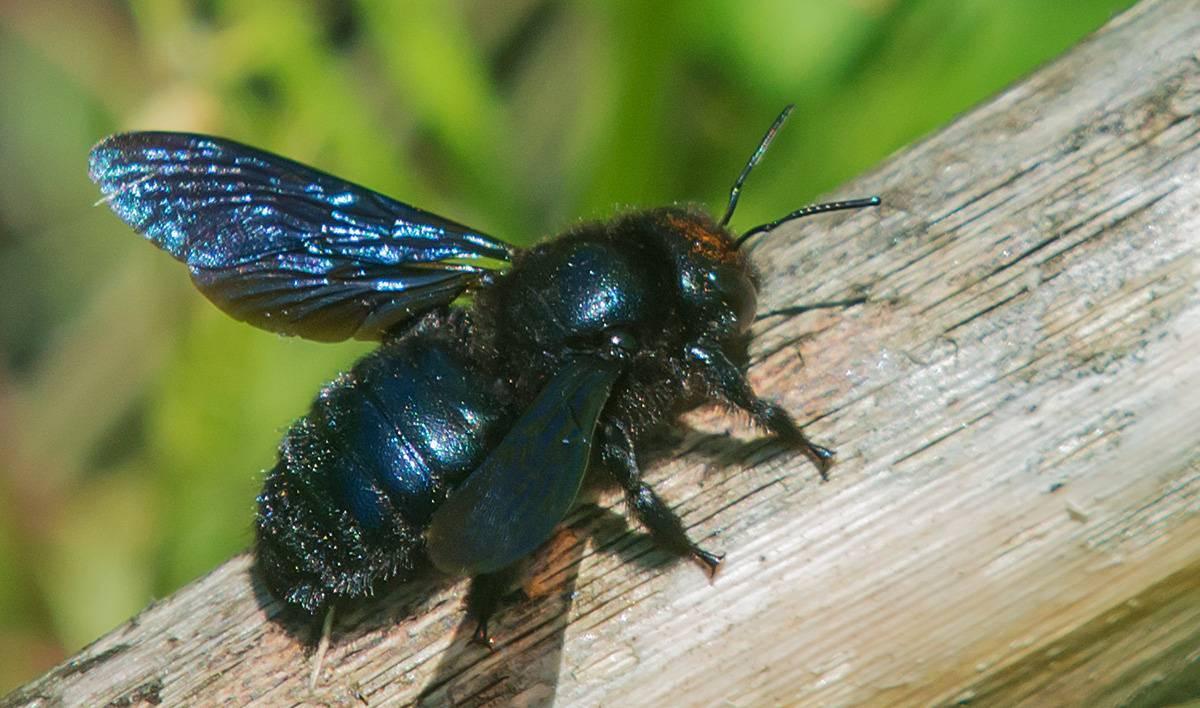 Кузнечик: описание, виды, среда обитания, жизненный цикл особенности прыгучего насекомого