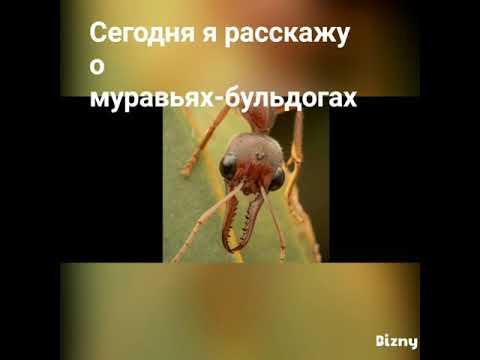 Муравьи бульдоги: описание жизни и фото этих насекомых