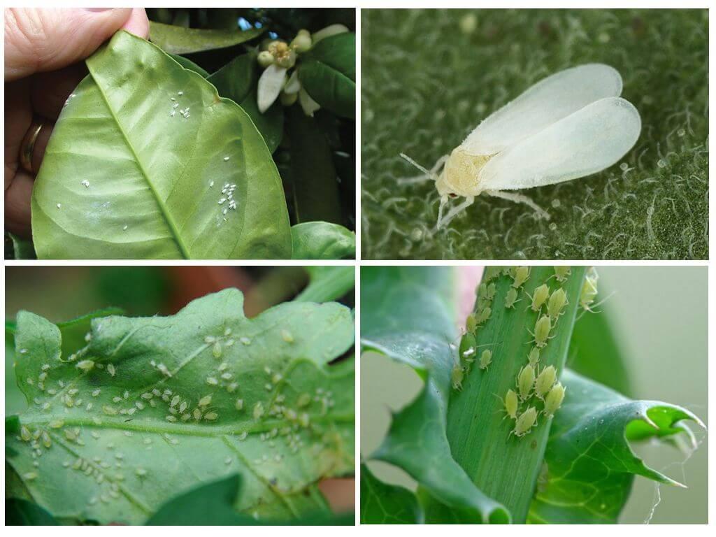 Белокрылка на комнатных растениях (23 фото): как избавиться от белых мошек на цветах в домашних условиях?