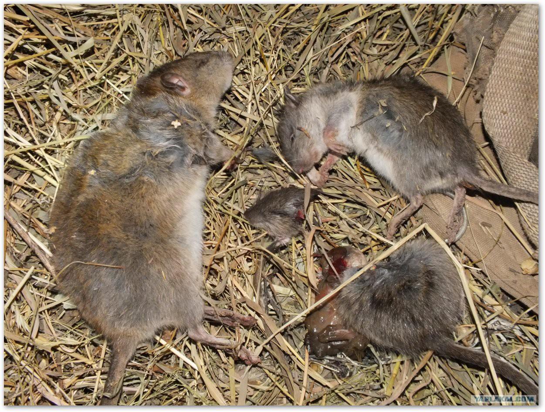 Отличия мыши от крысы: различия взрослых особей, мышонка и крысенка
