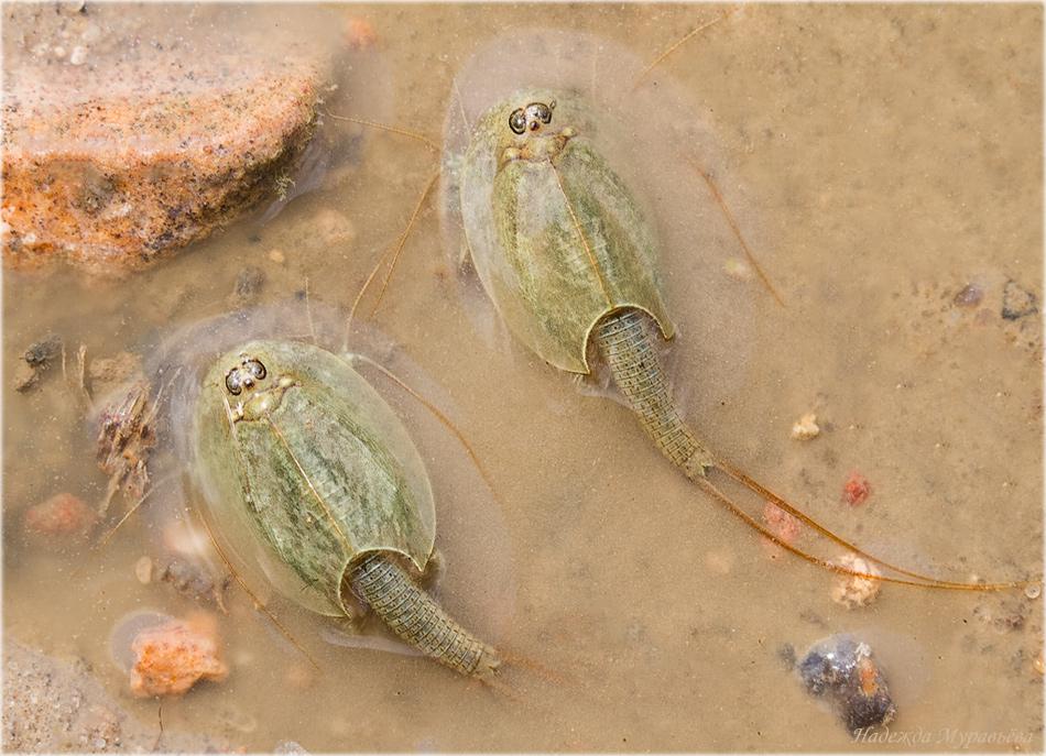 Наяс (наяда): виды, содержание аквариумного растения, разведение