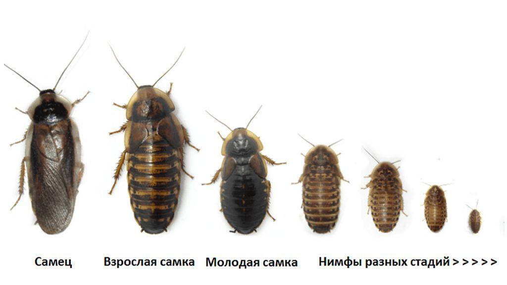 Аргентинский таракан. содержание и разведение