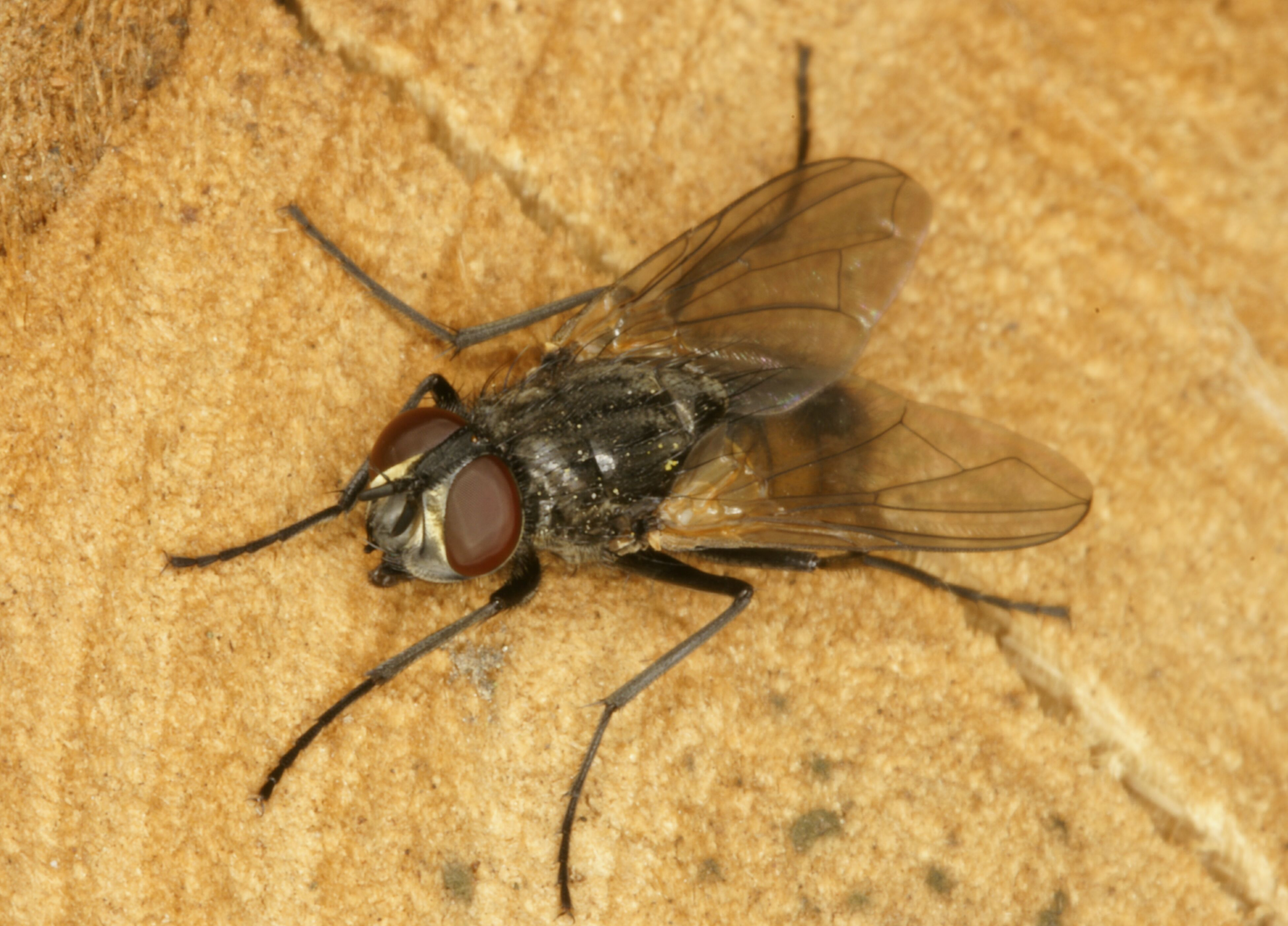 Муха: описание, виды, жизненный цикл, где живут и как питаются насекомые