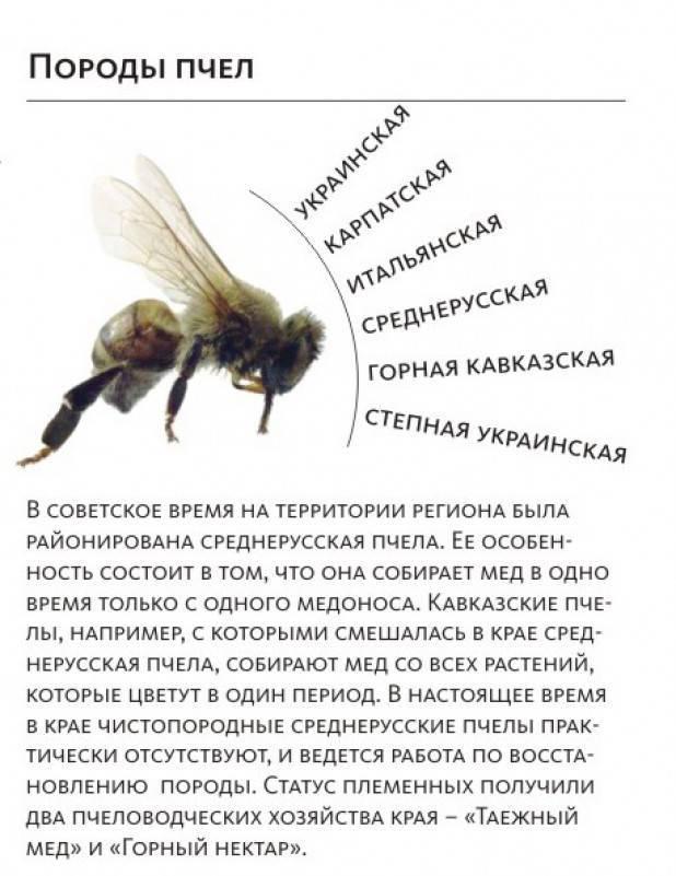 Породы пчел с фото и описанием