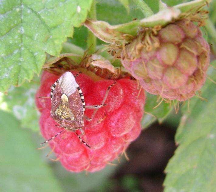 Способы защиты виноградника от ос