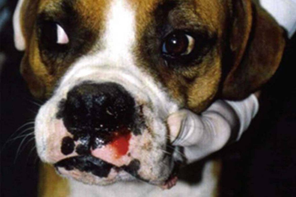 Эрлихиоз у собак — переносчики, стадии и лечение
