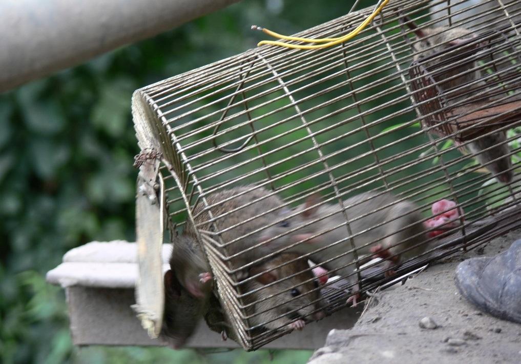 Ловушка для крыс своими руками