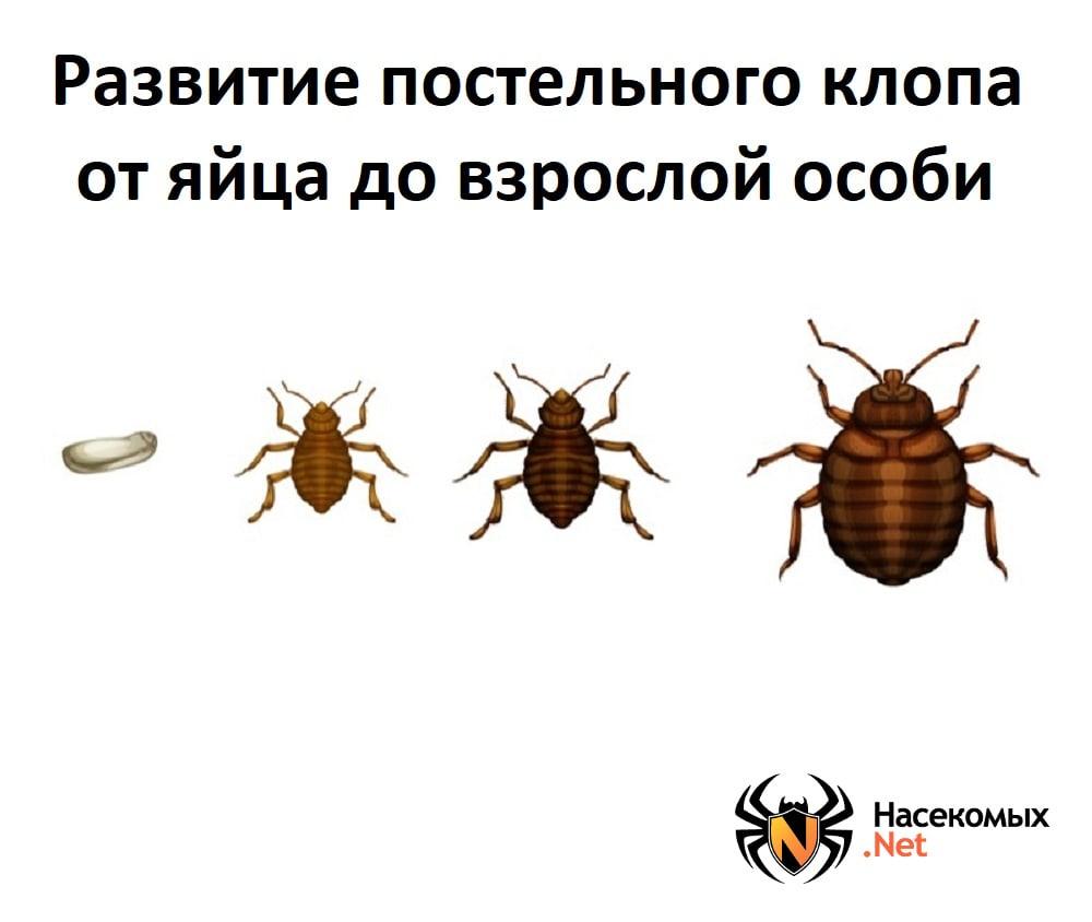 Какие насекомые и животные едят клопов