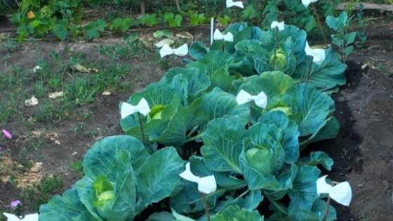 Как защитить капусту от вредителей народными средствами - чем опрыскивать