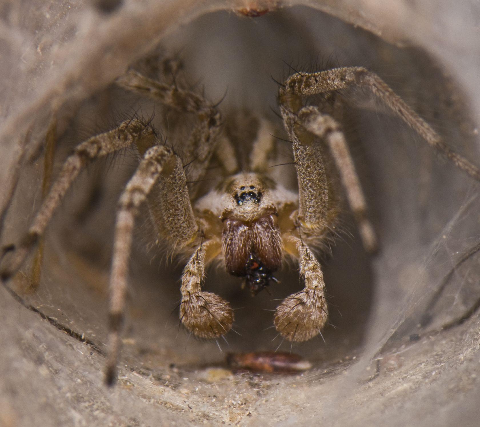 Внешнее строение паука, особые способности выживать. пауки-волки – терпеливые охотники, которых кормят «ноги сколопендры и крупные пауки волки