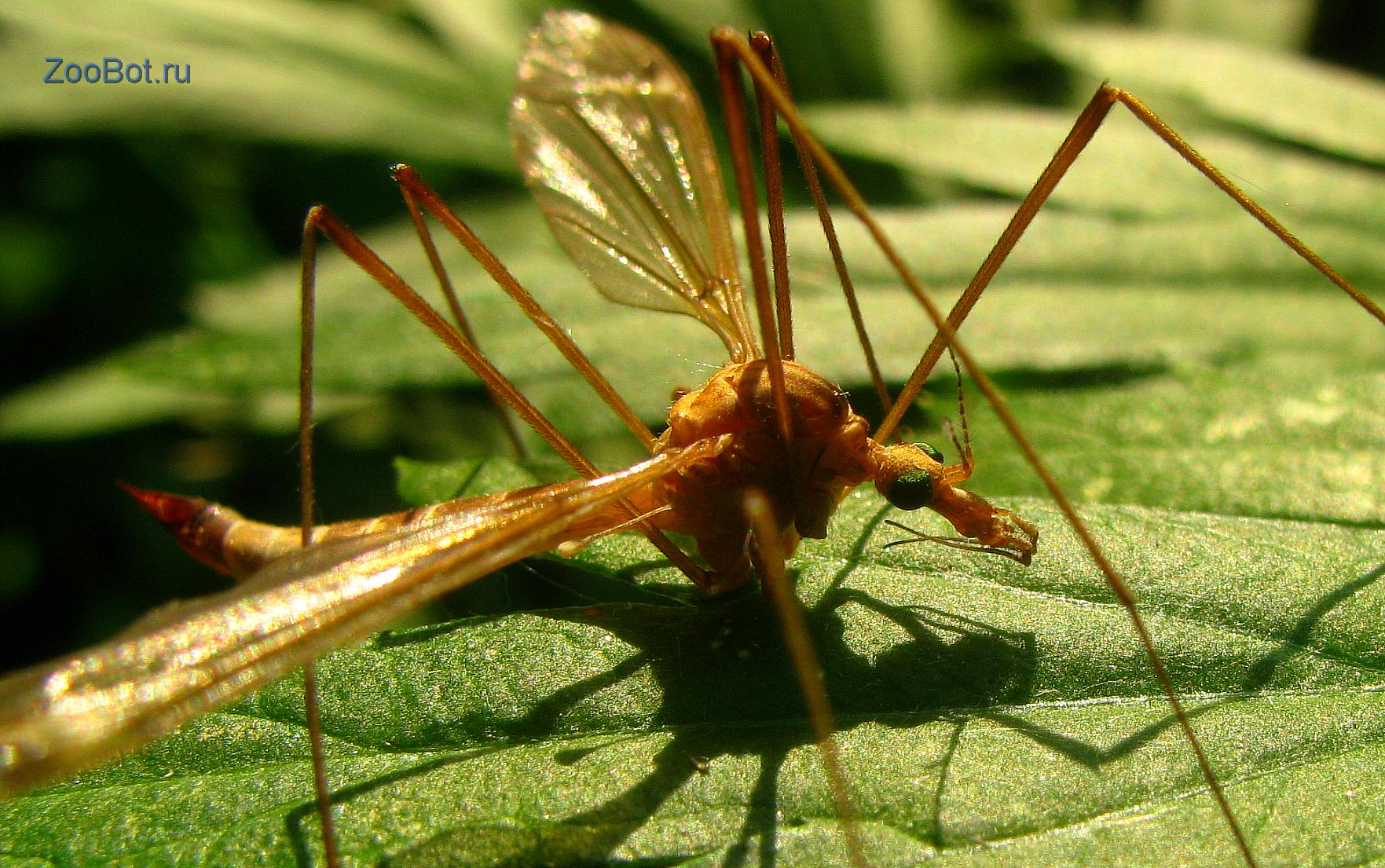 Комар долгоножка - отличительный особенности и фото насекомого