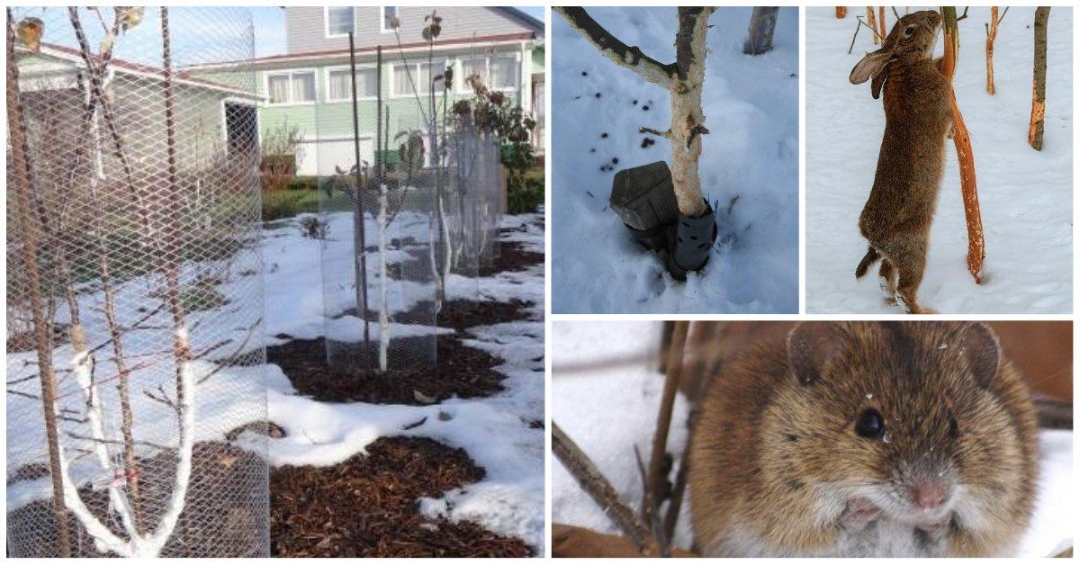 Как защитить яблоню на зиму от грызунов: чем закрыть от мышей, зайцев, полевок