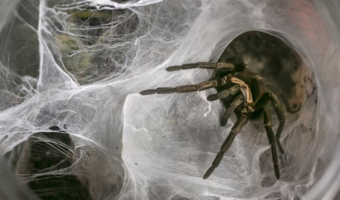 Домашние пауки: каких можно держать, сколько лет живут, как ухаживать и чем кормить в домашних условиях
