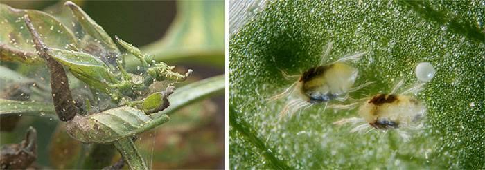 Эффективные способы избавления от паутинного клеща на орхидее