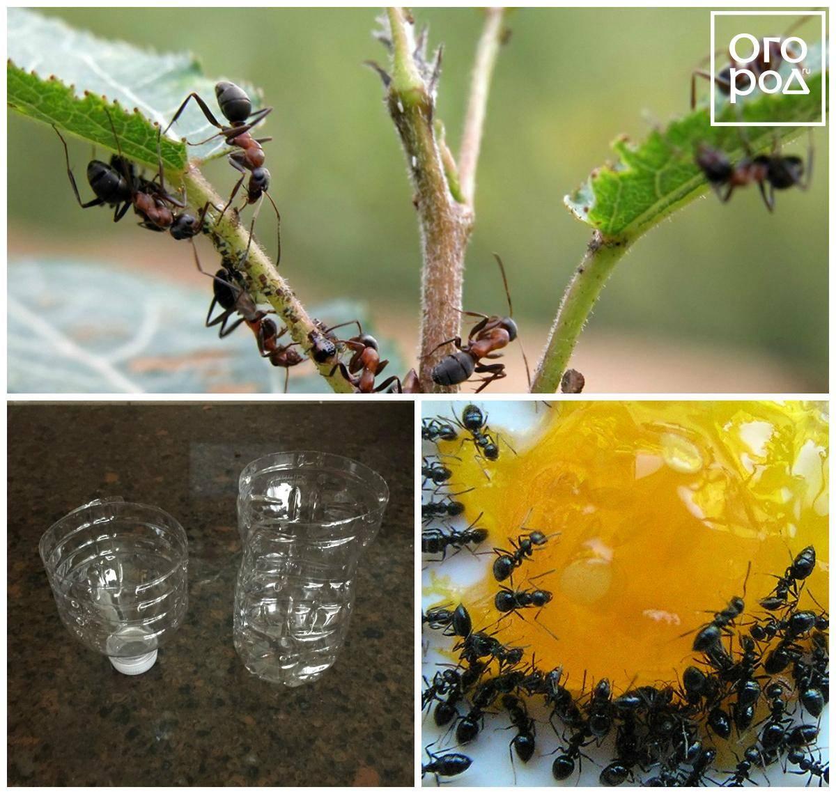 Муравьи на яблоне: что делать и как избавиться от муравьев и тли