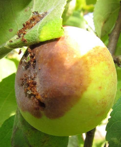 Методы борьбы с яблонной плодожоркой