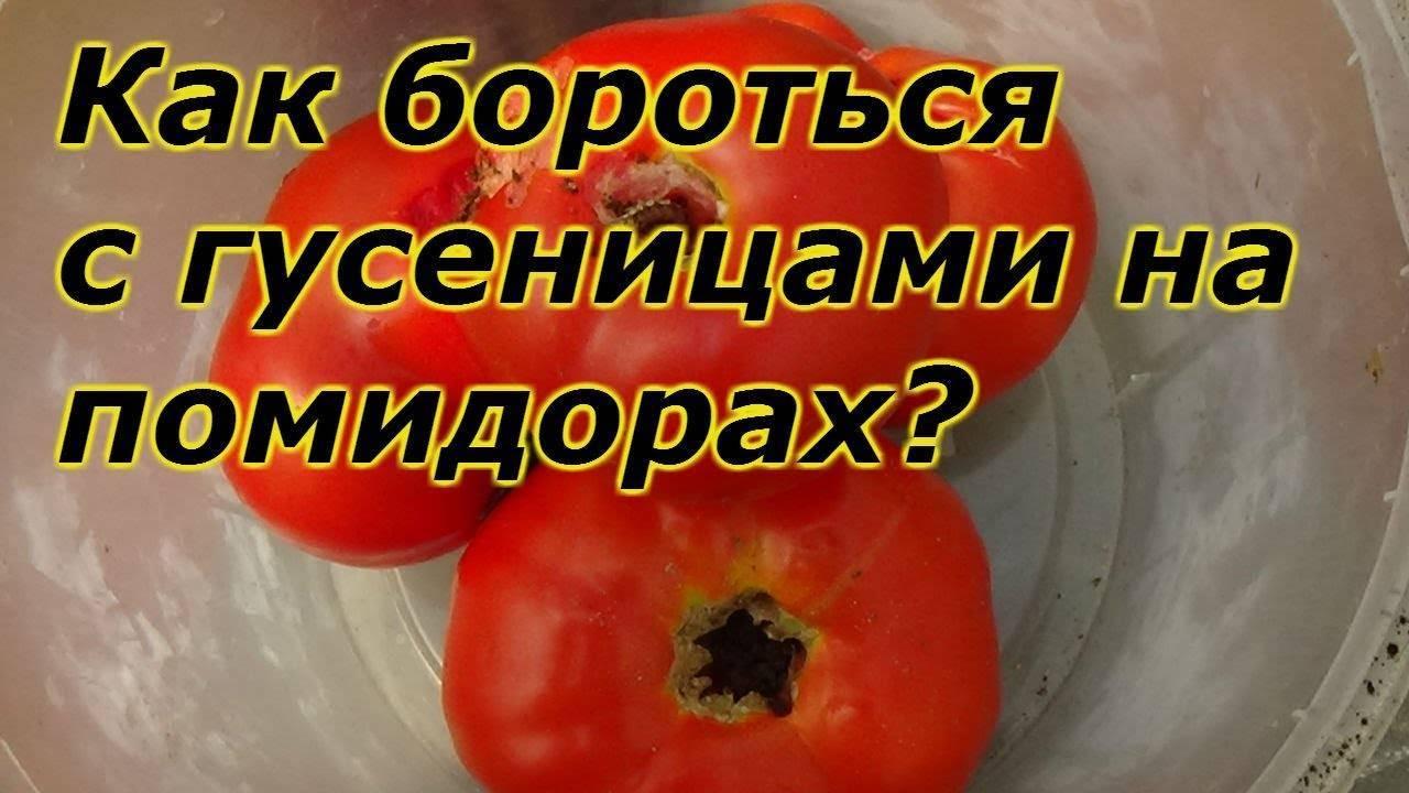 Совка на капусте, картофеле, помидорах — методы борьбы