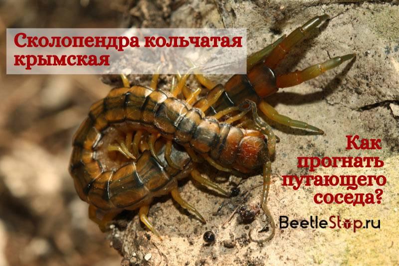 Крымская сколопендра: фото, описание и методы борьбы