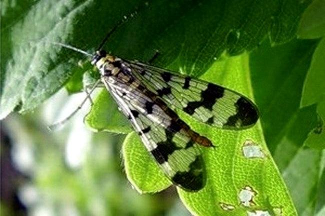 Как бороться с малиновой мухой. малиновая муха и борьба с ней