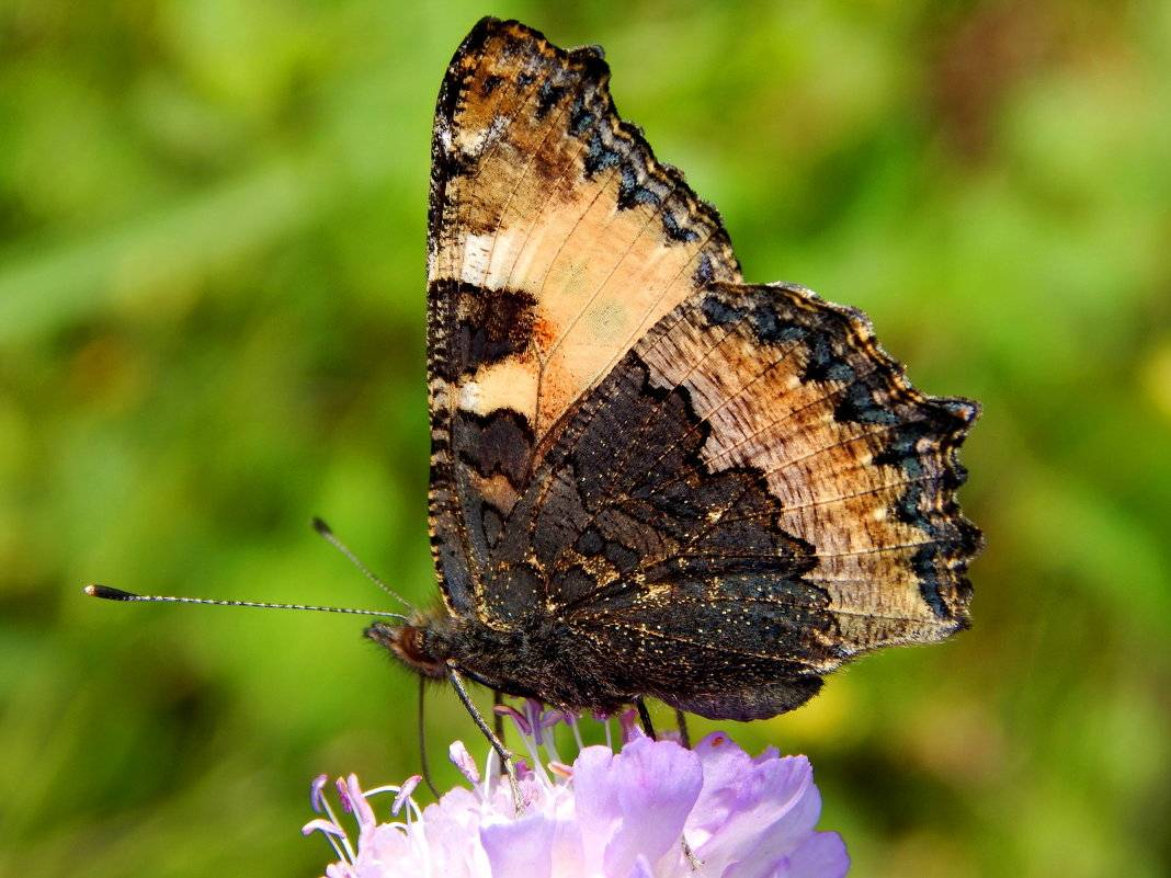 Бабочка крапивница доклад сообщение (описание для детей)