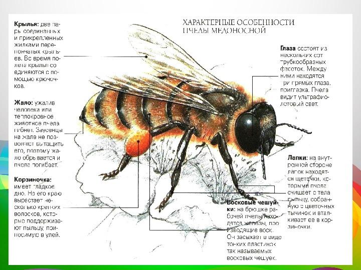 Все о медоносных пчелах