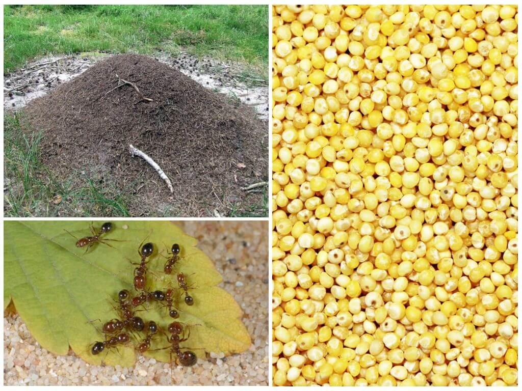Пшено и манка от муравьев на дачном участке: как с помощью этих ингредиентов от них избавиться, отзывы