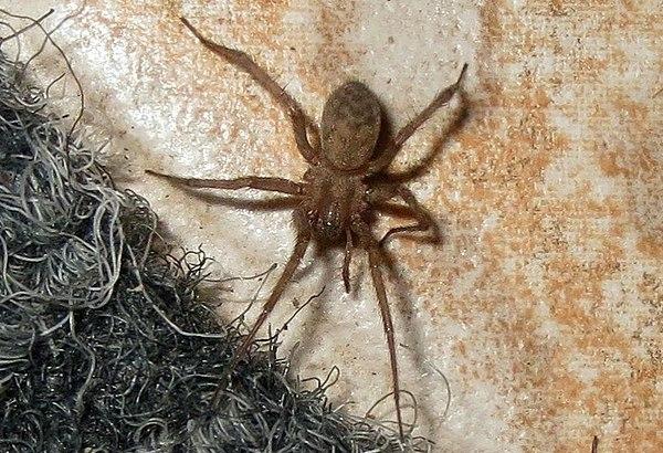 Крестовик паук. описание, особенности, виды, образ жизни и среда обитания крестовика   живность.ру
