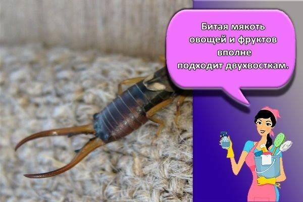 Двухвостка – вредитель и полезное насекомое
