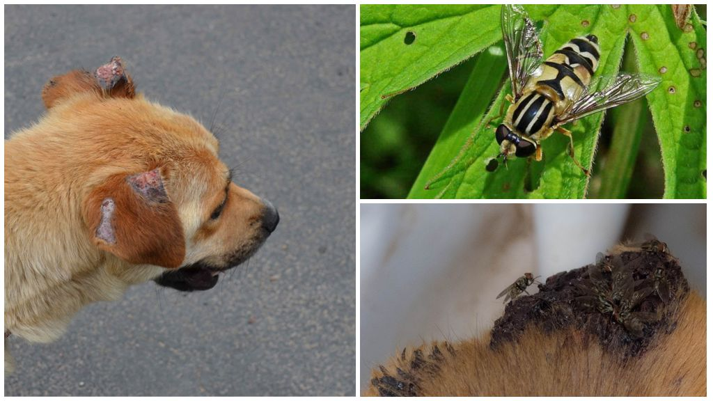 Почему кусаются мухи и можно ли защитить от них своего питомца! почему мухи осенью кусаются