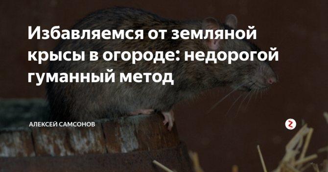 Гуманные и радикальные способы навсегда избавиться от земляной крысы на огороде
