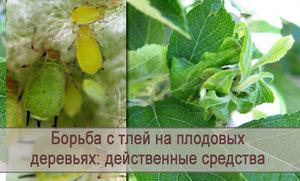 Борьба с тлей народными средствами. 16 народных средства против тли на садовом участке.   красивый дом и сад