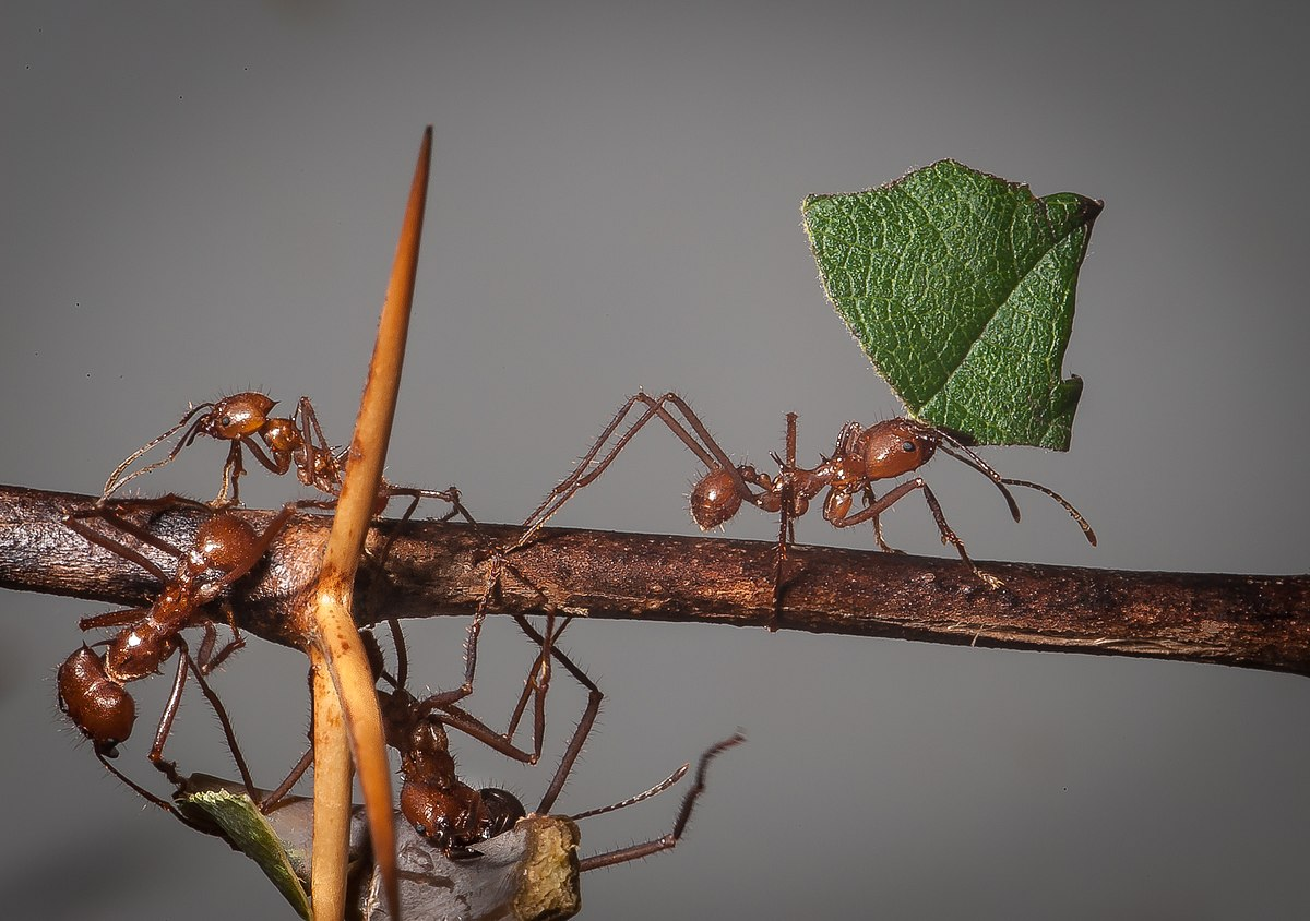 Какой вред и пользу могут принести муравьи листорезы