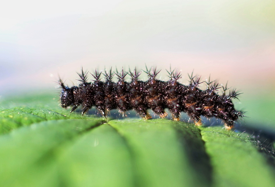 Гусеница крапивница когда появляется - аллергические поражения кожи