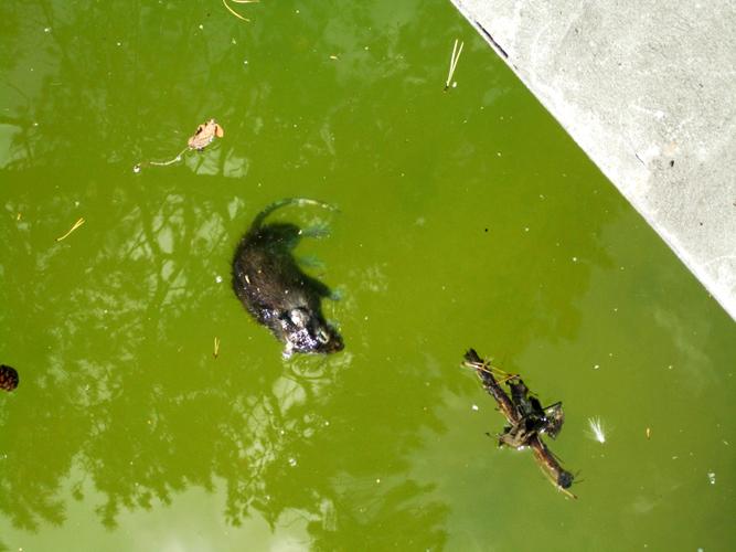 ✅ крысы плавают в воде - питомник46.рф