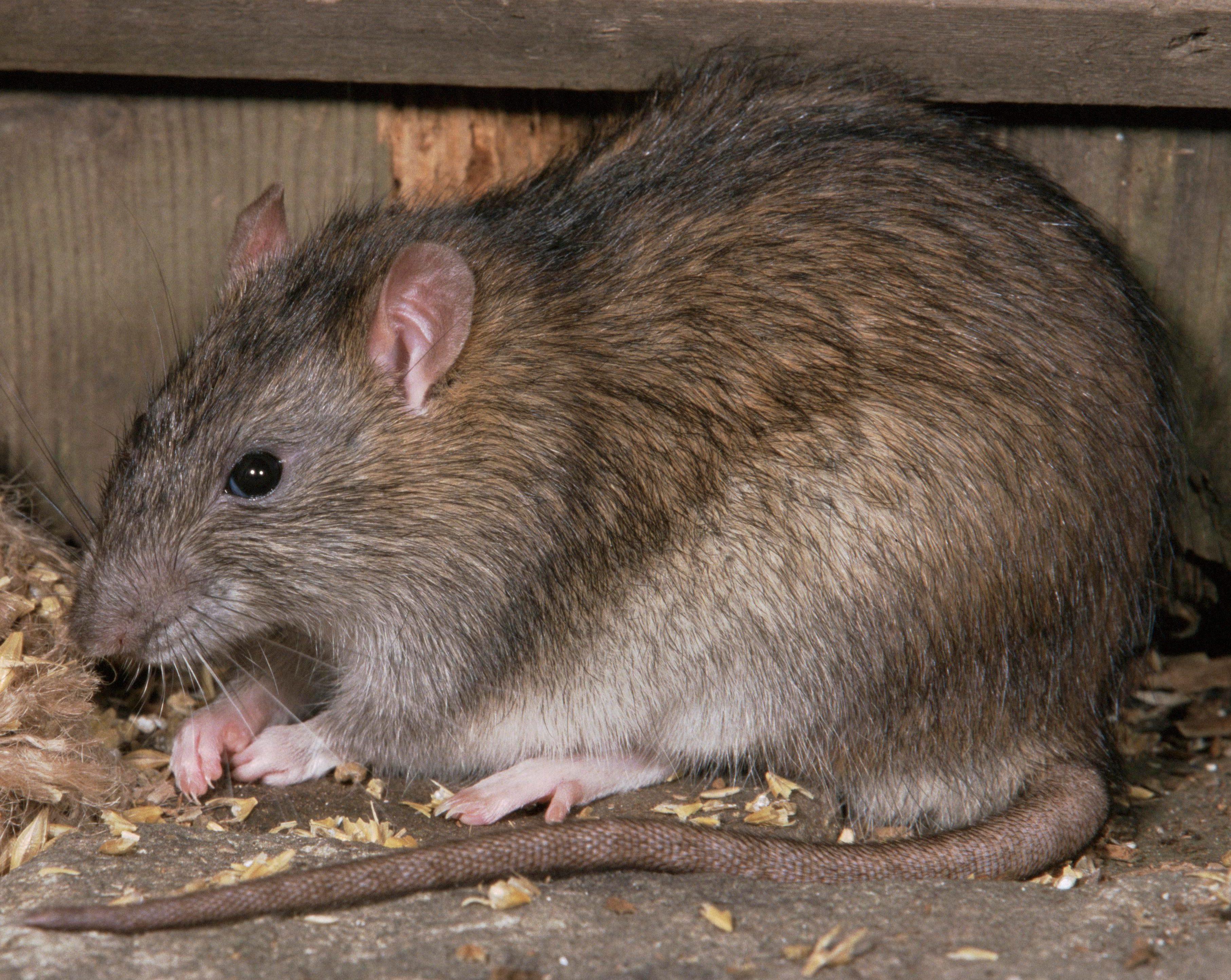 Избавляемся от крыс живущих в подвале