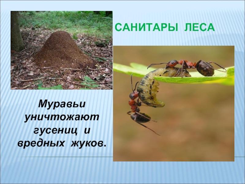 Конспект занятия по познавательному развитию в старшей подгруппе «муравьи— защитники леса»