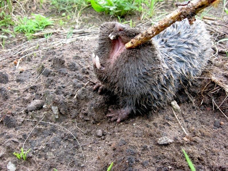 Земляные крысы на даче: как избавиться народными средствами