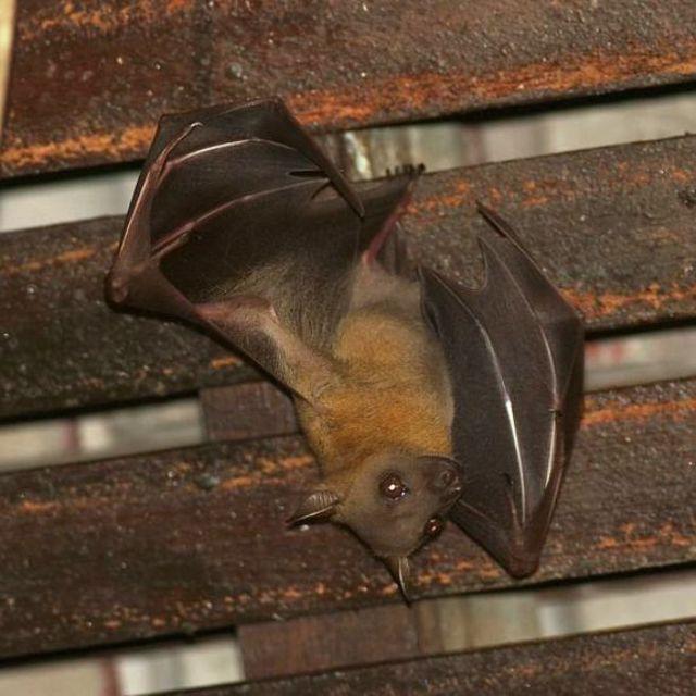 Как избавиться от летучих мышей под крышей в доме