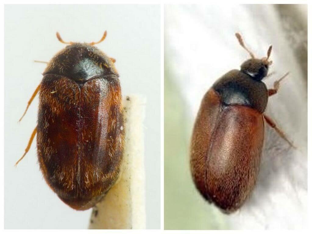 Как избавиться от жука кожееда в квартире быстро и эффективно