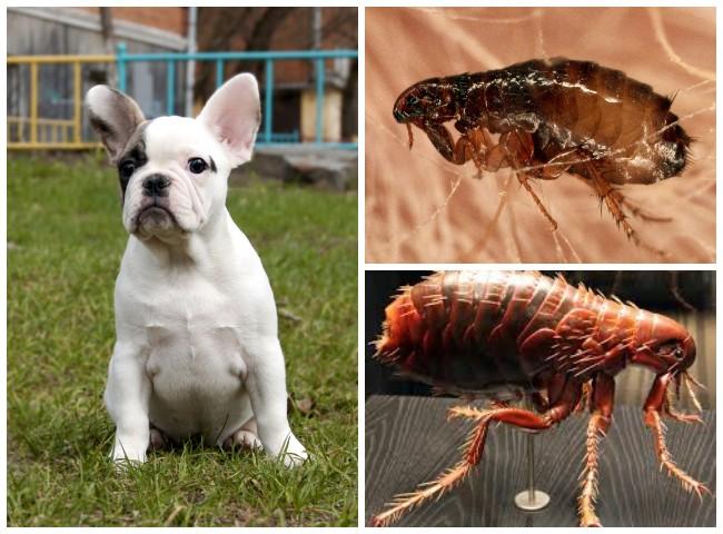 Как вывести блох у собаки, как избавиться от собачьих паразитов в домашних условиях
