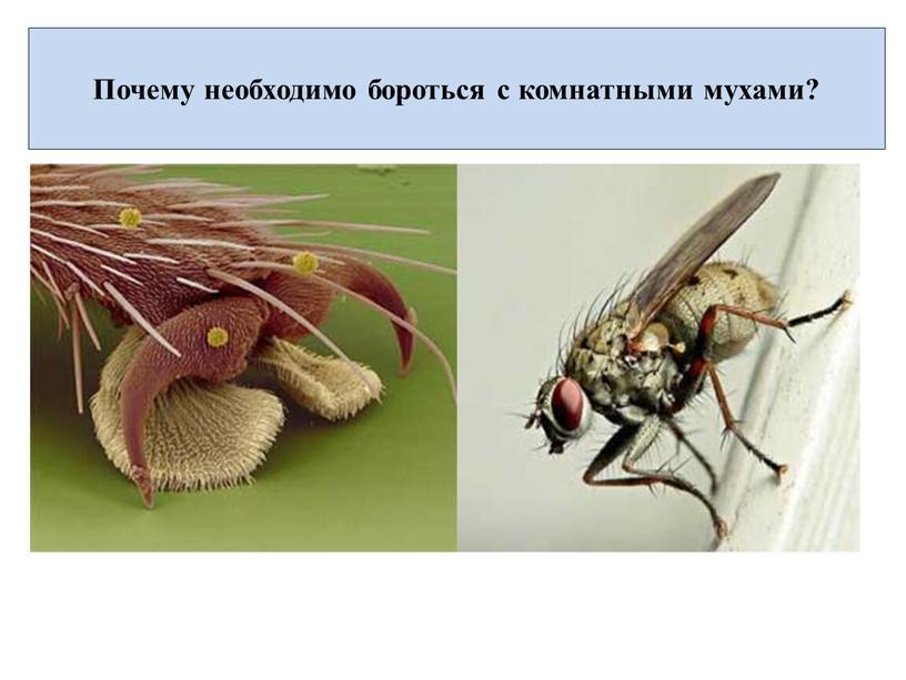 Описание домашней мухи