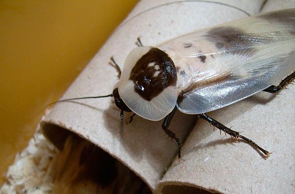 Белые тараканы альбиносы в квартире, что это?