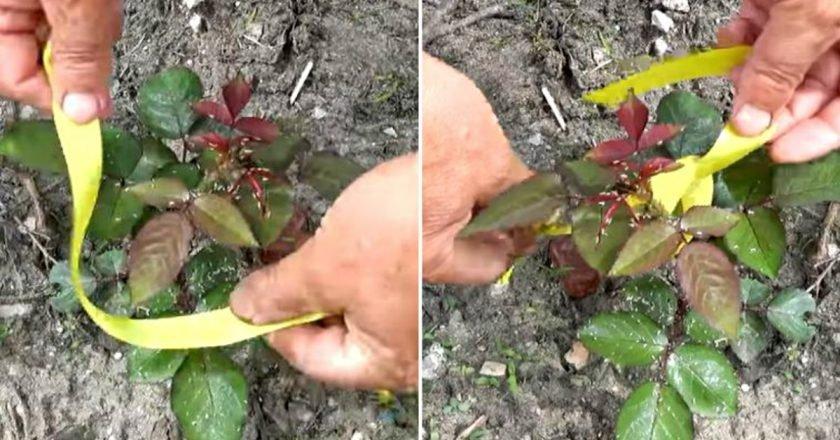 Как избавиться от тли на розах – дачные дела
