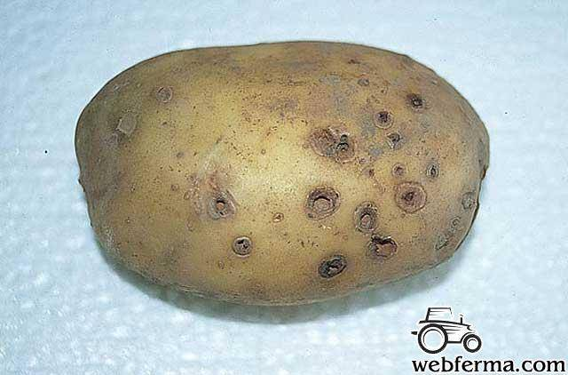 Проволочник — беспощадный вредитель картофеля