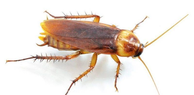 Как избавиться от тараканов рыжих: борьба народными методами