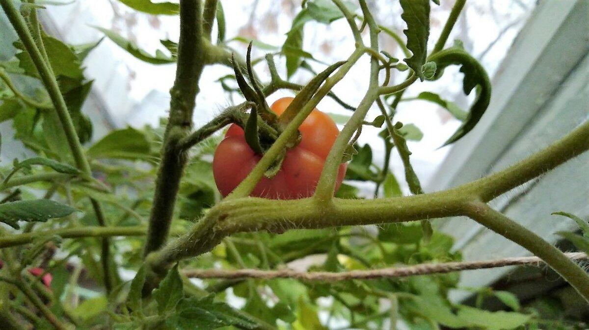 Как избавиться от белокрылки на томатах в теплице: самые эффективные и безопасные способы